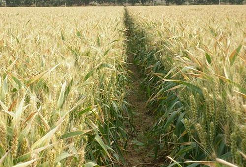 小麦种子生产基地