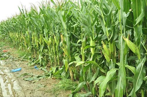 玉米种子生产基地