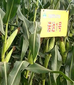 玉米种子,诺达1号